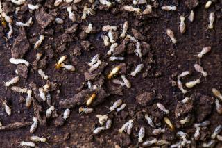 White Flying Termites Are They Rare Target Specialty Products